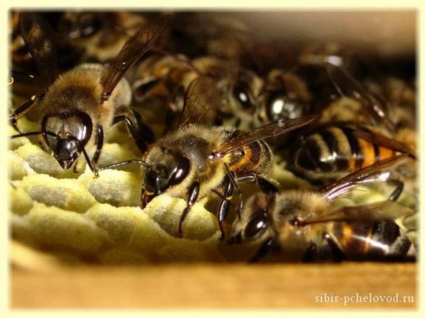 медоносные пчелы строят соты