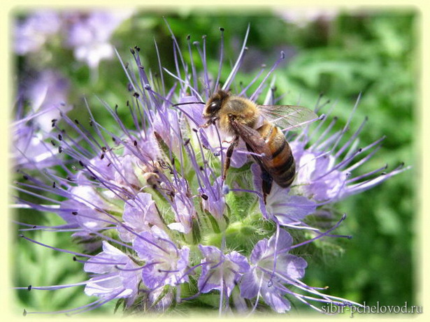 медоносная пчела на цветке фацелии