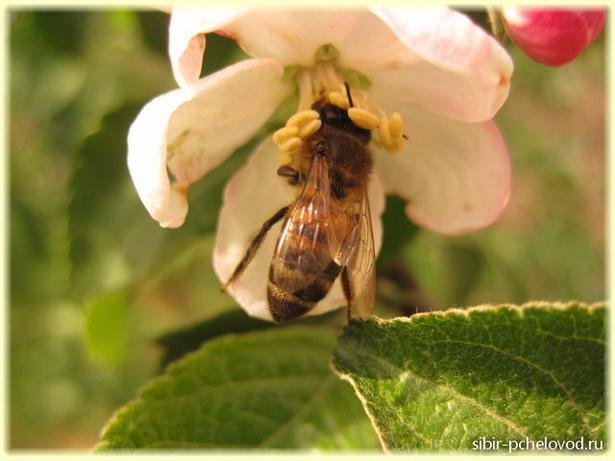 медоносная пчела собирает нектар с цветка яблони