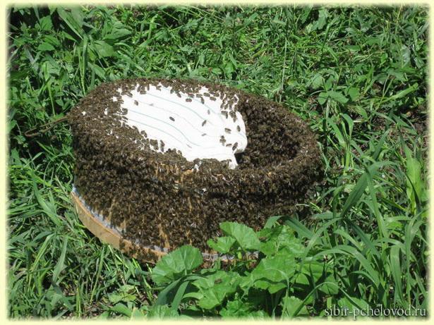 Роевые пчелы облепили роевню,в которой находится их матка