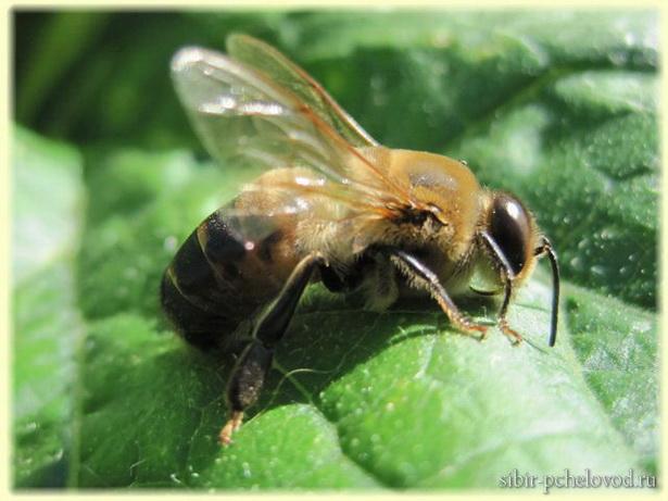 на фото пчелиный трутень