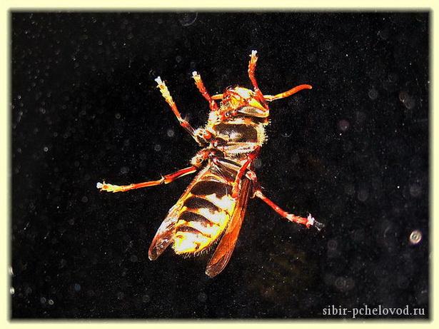 Злобный враг пчел - шершень
