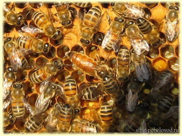 на фото матка со свитой пчел
