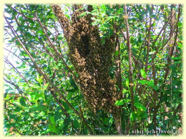 пчелиный рой привился на вишню