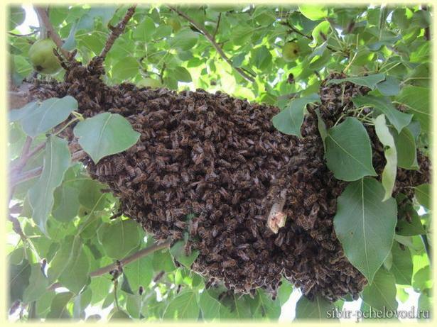 пчелиный рой привился на грушу