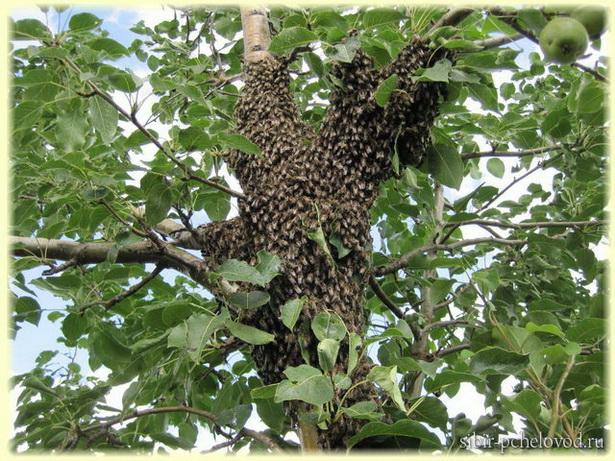 рой - первак привился на ствол грушевого дерева