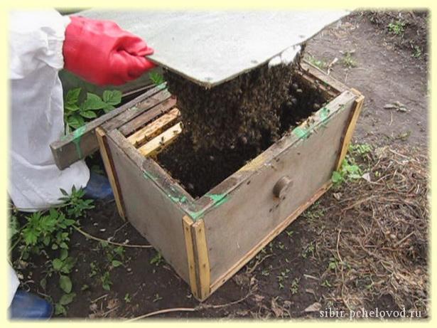В ловушке снова пчелиный рой