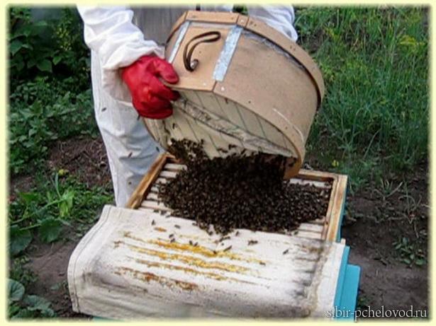 пересадка пчелиного роя в улей