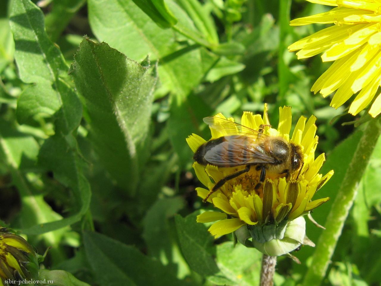 обои с пчелами